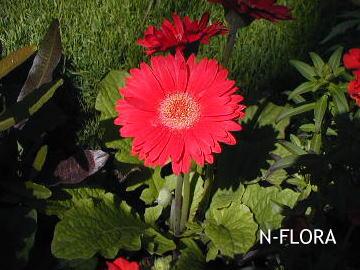 ガーベラ|生花・切り花 | 《通販》はなどんやアソ …